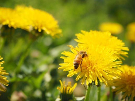 たんぽぽ、タンポポ、ミツバチ