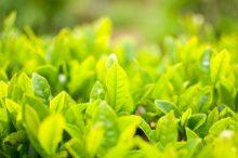 日本茶-茶畑