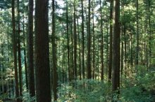 杉の木、杉林