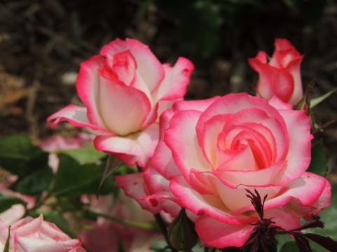 バラ、薔薇