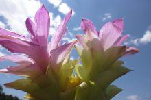 ウコンの花